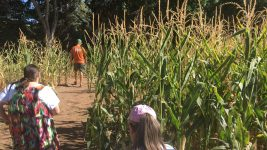 The mini corn maze at Chatfield Farms. (Dave Burdick/Denverite)