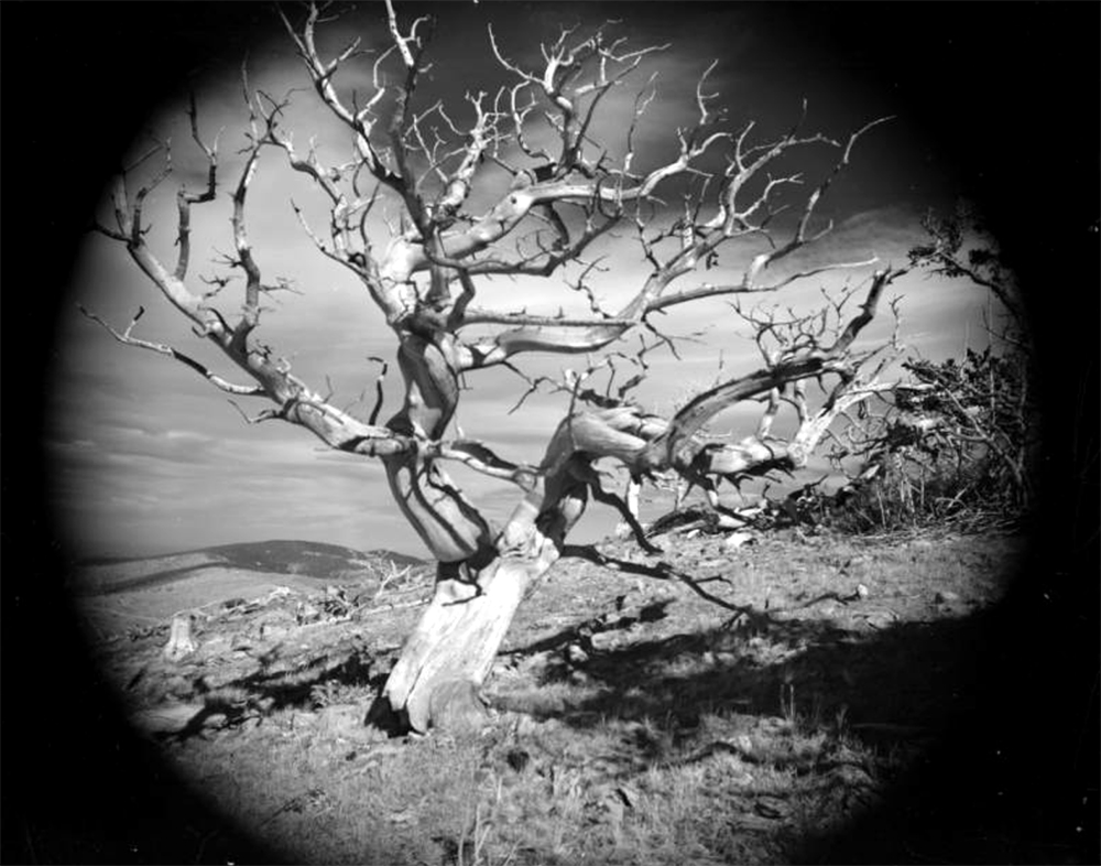 A tree with bare branches, possibly a Limber Pine, stands on a ridge near James Peak on the border of Gilpin, Grand and Clear Creek Counties in Colorado. The image is framed in a dark oval as a result of its being retouched. Between 1935 and 1950. (Donald Kemp/Denver Public Library/Western History Collection/K-64)  five points; historic; denver public library; dpl; archive; archival; denverite