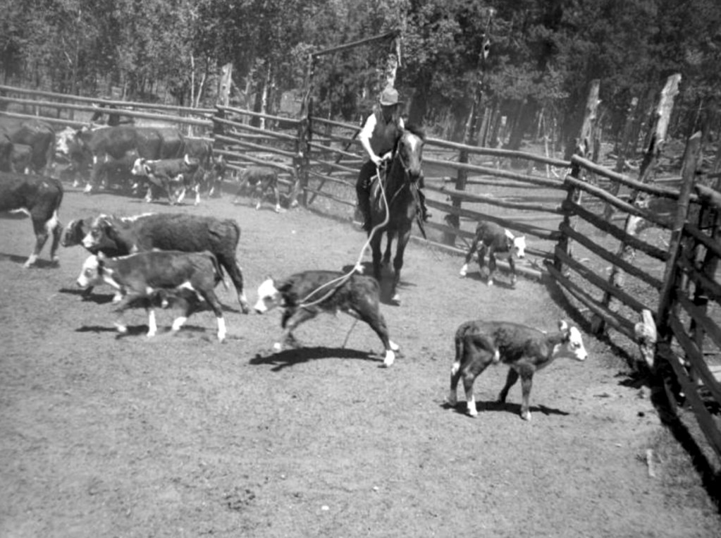 A rancher on horseback ropes a calf in a corral, probably at the Green Ranch northeast of Blackhawk in Gilpin County, Colorado. Circa 1940. (Donald Kemp/Denver Public Library/Western History Collection/K-255)  five points; historic; denver public library; dpl; archive; archival; denverite