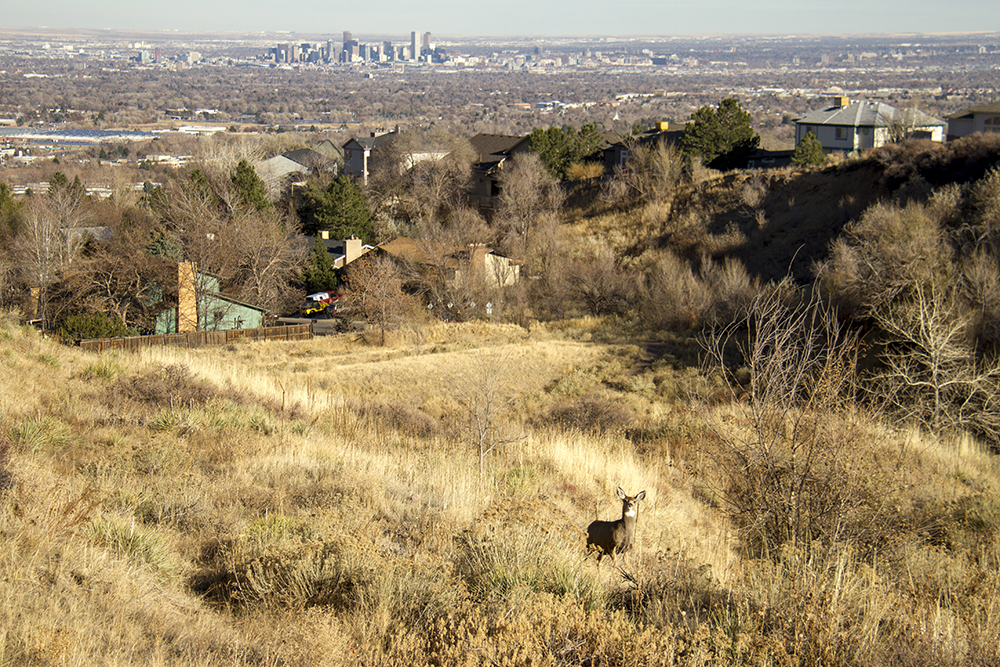 Mule deer and a Denver skyline, Green Mountain. (Kevin J. Beaty/Denverite)  skyline; cityscape; green mountain; deer; animals; kevinjbeaty; denver; denverite; lakewood; colorado