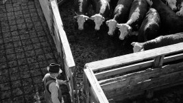 Purpose steers are locked in tent for shipment, stockyard, Denver, Colorado, Oct. 1939. (Arthur Rothstein/Library of Congress/LC-USF33-003411)