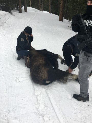 Breckenridge police officers assist Colorado Parks and Wildlife in relocating moose. (Courtesy Town of Breckenridge Police Department)