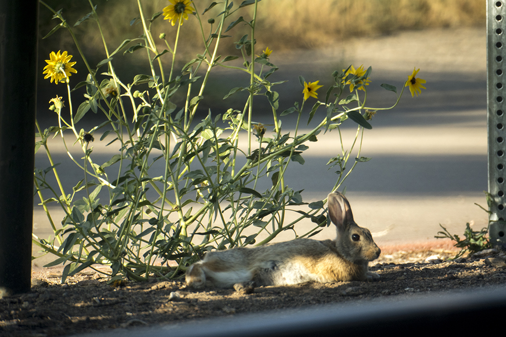 A little urban bunny chills out at Fishback Park. South Platte River. (Kevin J. Beaty/Denverite)  south platte river; environment; ecology; denver; denverite; kevinjbeaty;