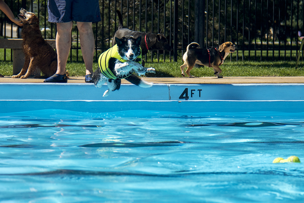 Butch Cassidy dives into the pool. Dog-a-Pool-ooza at Cook Park Pool, Aug. 13, 2017. (Kevin J. Beaty/Denverite)  public pool; dogs; pets; Dog-a-Pool-ooza; cook park; denverite; colorado; kevinjbeaty; denver;