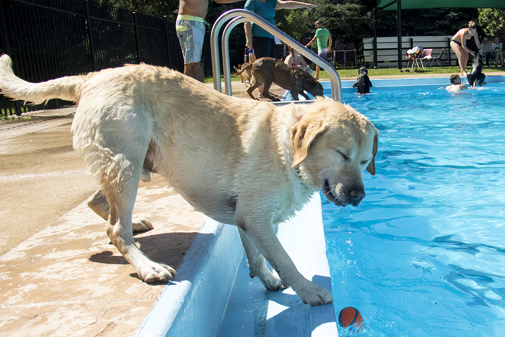 Yes, this is just fine. Dog-a-Pool-ooza at Cook Park Pool, Aug. 13, 2017. (Kevin J. Beaty/Denverite)  public pool; dogs; pets; Dog-a-Pool-ooza; cook park; denverite; colorado; kevinjbeaty; denver;