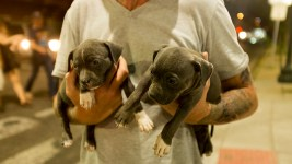 Two weeks-old pit bulls get a walking tour of Colfax during Taste of Colorado, Sept. 2, 2017. (Kevin J. Beaty/Denverite)