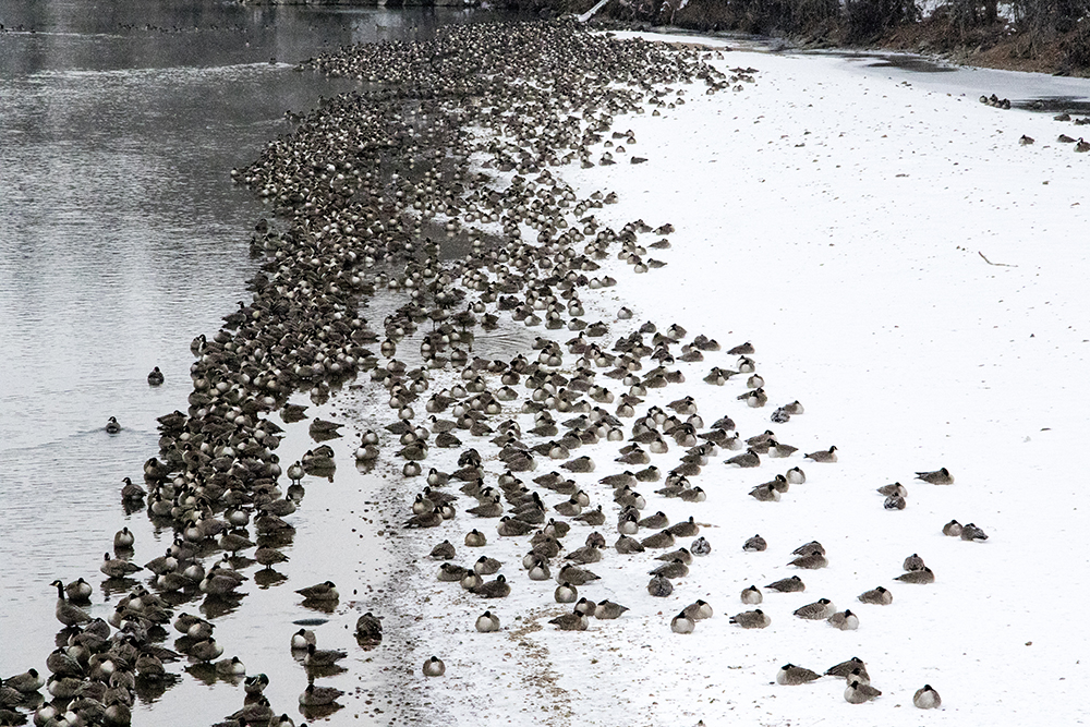 A metric motherload of Canada geese on the South Platte River in Overland. (Kevin J. Beaty/Denverite)