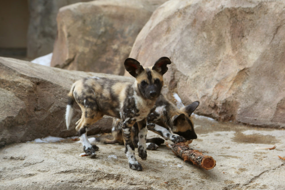 African wild dog puppies at the Denver Zoo. (Courtesy of Denver Zoo)