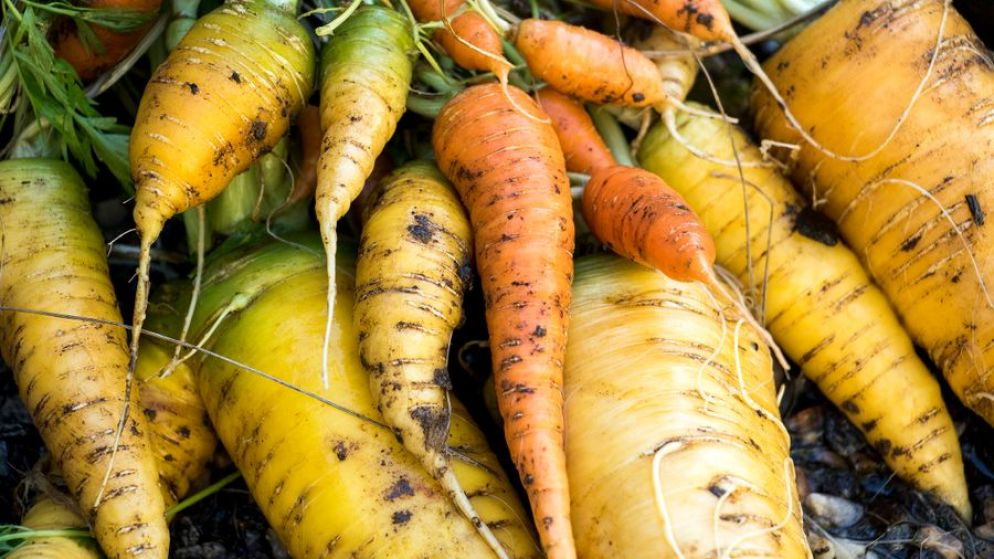 Carrots from Paul Heitzenrater and John Farnam's garden in their Montclair backyard, Oct. 12, 2018. (Kevin J. Beaty/Denverite)