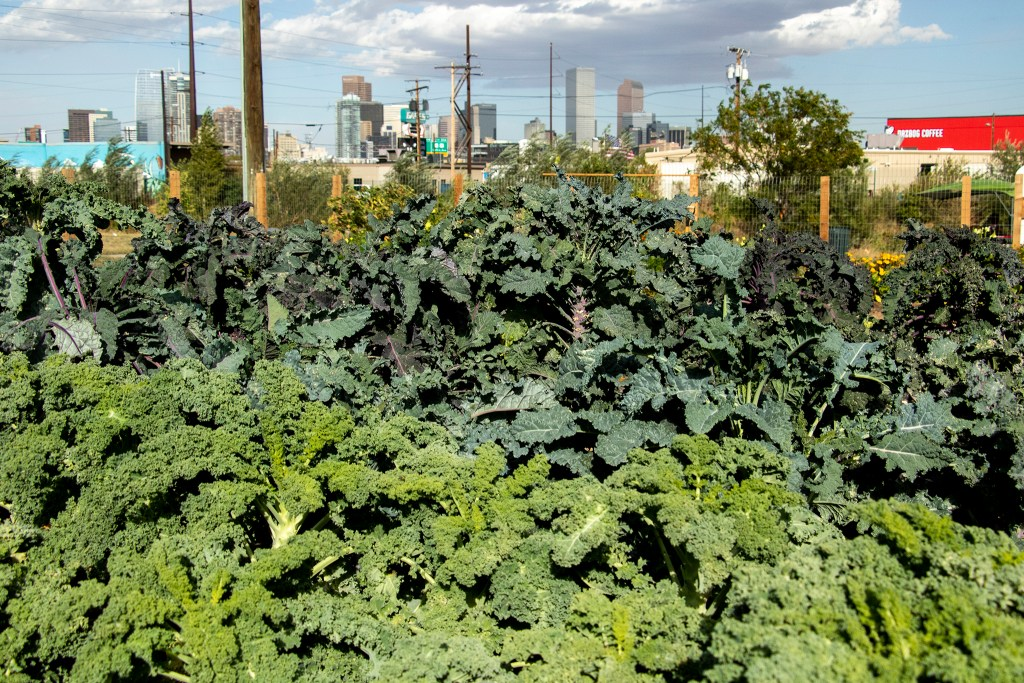 Kale grows at Sun Valley's urban garden, Sept. 27, 2019. (Kevin J. Beaty/Denverite)