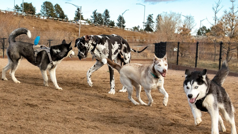 It was a regular dog pile on a Friday morning at the Berkeley Dog Park. Dec. 13, 2019. (Kevin J. Beaty/Denverite)