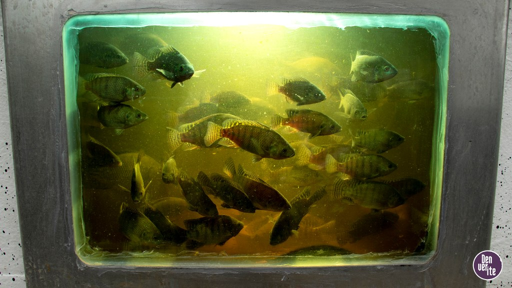 Tilapia swim in aquaponic tanks at the Dahlia Campus for Health and Well-Being, June 19, 2019. (Kevin J. Beaty/Denverite)