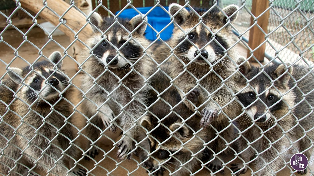 Curious raccoons crowd to see a reporter visiting the Greenwood Wildlife Rehabilitation Center, June 29, 2019. (Kevin J. Beaty/Denverite)