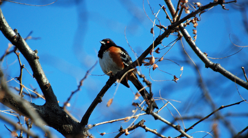 A spotted towhee in Holly Hills, an enclave within Denver. (Courtesy of  Holly Endres)