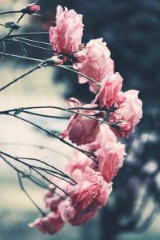entretien des rosiers taille bouture