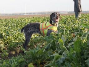 Asta 9,5 jaar en nog altijd een hardwerkende praktijk hond (2014)
