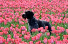storm tulpen