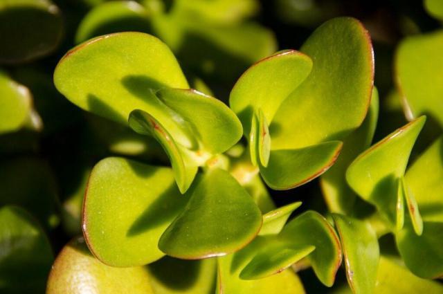 árbol de jade significado