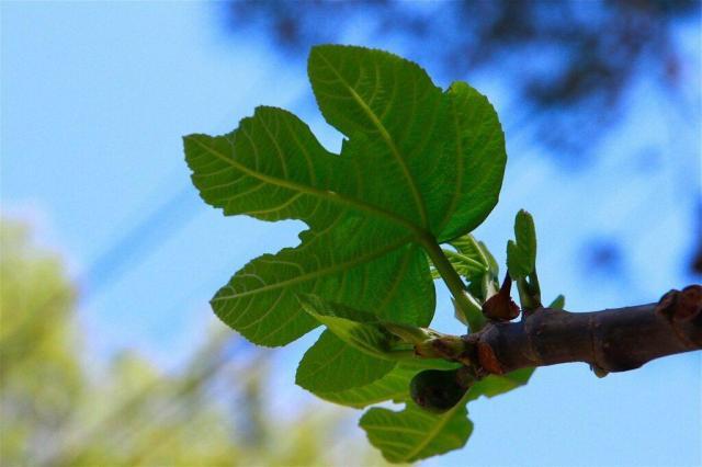 para qué sirven las hojas de higo