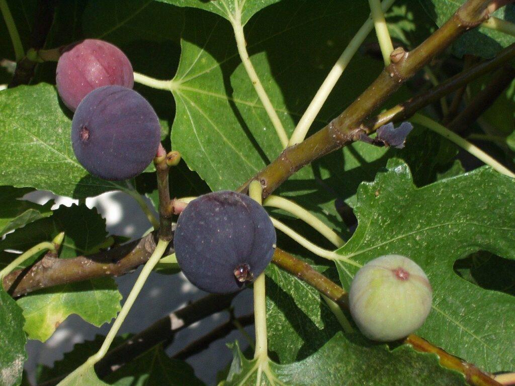 beneficios de hojas de higo