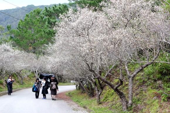 名護市オーシッタイ梅の花