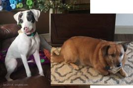 """We call these our """"Granddogs."""" Both were """"rescued""""--meaning that they had been abandoned or abused. After college, Andrew adopted Murphy (2017, on the right). Sometimes we wonder """"Who rescued who?"""" Andrew married Laura in August, and Rue (a deaf """"rescue"""") became the forth member of the family soon thereafter."""