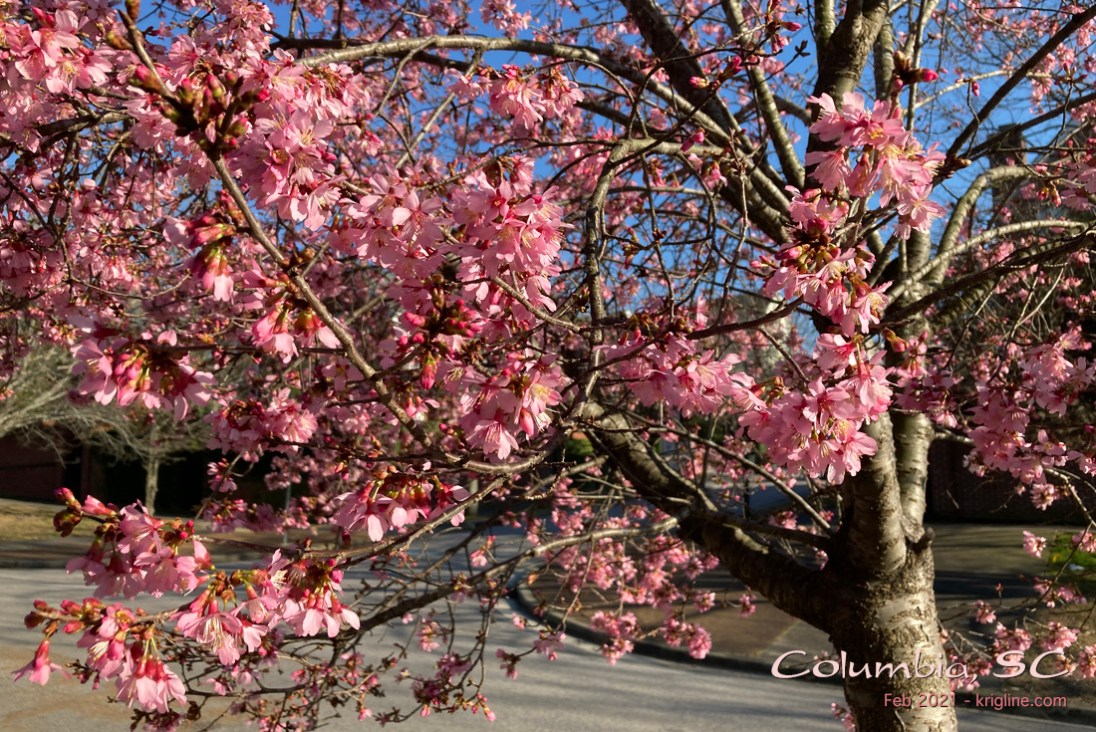 On my neighborhood walk, this tree's early attempt to announce spring grabbed my attention, so I had to stop and take some pictures.