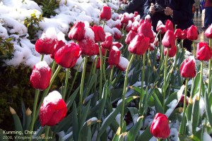 Vivian took this 2008 photo at the park. I love the contrast of tulips and snow!
