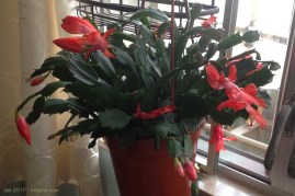 """For years, Vivian had a """"Christmas Cactus,"""" but we couldn't bring any plants with us to HK. So, I bought this one for her last Christmas; it is always amazing to watch it """"flower"""" early in the new year."""
