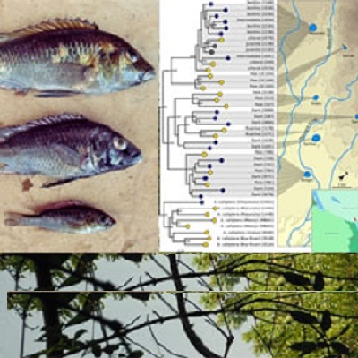 Behaviour, morphology and genetics of cichlid fish undergoing ecological speciation 400 x 400 px