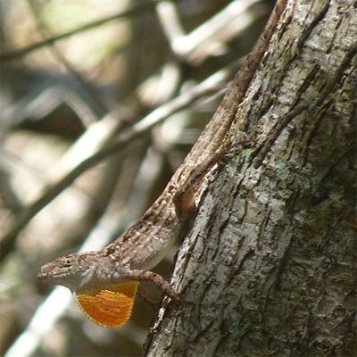 Predicting climate change effects on Anolis lizards using physiological models and ecological traits 400 x 400 px