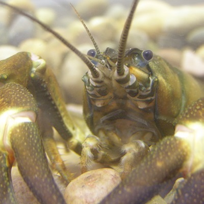 Predicting Sediment Dynamics in Rivers Infested with Invasive Crayfish