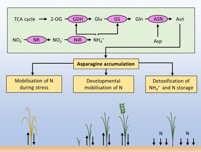 Graphic to show the accumulation of asparagine in crops