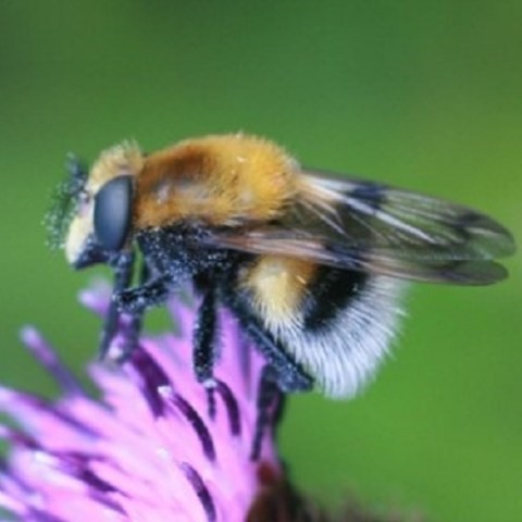 Image showing Volucella the hoverflies that will be studied in this placement