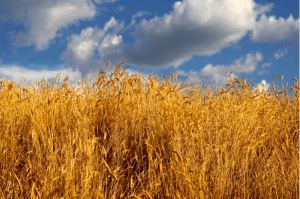 "KJV ""Ears of Corn."" Public domain photo."