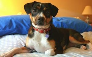 My Mastiff-Chihuahua.