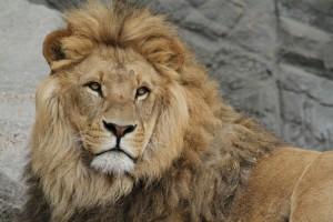 lion-989140_1920