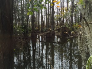 Pond at the center of the cypress dome.