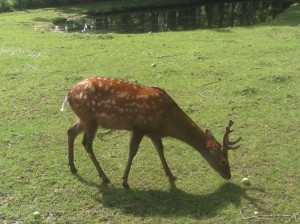 A deer in Holland. Photo by Yvonne Aburrow