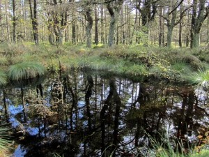 Dark pool, Beanley Moss Beanley Moss is an area of poorly drained conifer plantation where natural depressions have accumulated peat and developed bog vegetation. A few, like this, have formed small bodies of open water. This, and a large surrounding area of heather moorland and associated marshes, has recently been notified for SSSI status by English Nature