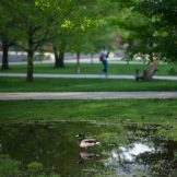 Duck on pond overlooking green commons area