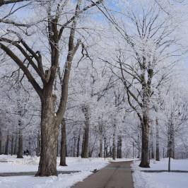 Hoar-frost covered trees on the commons
