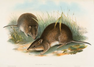 John Gould (1804-1881) and Henry Richter (1821-1902) (England)Bandicoot (Perameles obesula), 19th centurylithograph on paperGift of Stephen Fink '692019.8.4