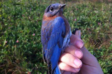 PattersonEmilyBluebird
