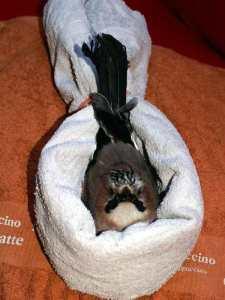 Stabilisierung von Vögeln, die nicht aufrecht sitzen können, © Anke Dornbach