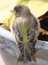 Jugendlicher Grünfink, © Anke Diercks