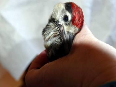 Typische Schiefhaltung des Kopfes bei einem jungen Buntspecht, © Nadja Koch