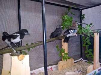 Junge Rabenvögel im Flexarium, © Anke Dornbach
