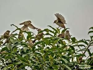 Spatzenschwarm sucht Schutz auf einem Busch, © Michael Schleicher
