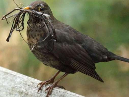 Ist Die Amsel Ein Zugvogel